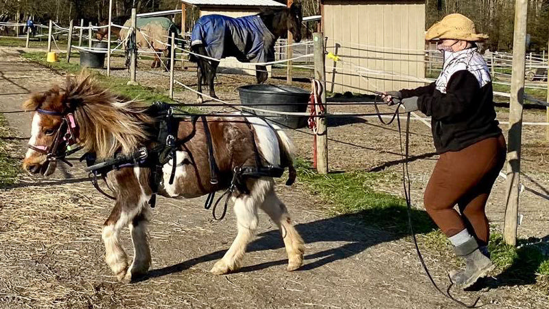 A horse trainer is working on training miniature horse to work in harness and pull a mini-sized cart