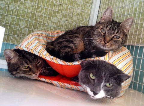 Three cats inside the Cat Ball!