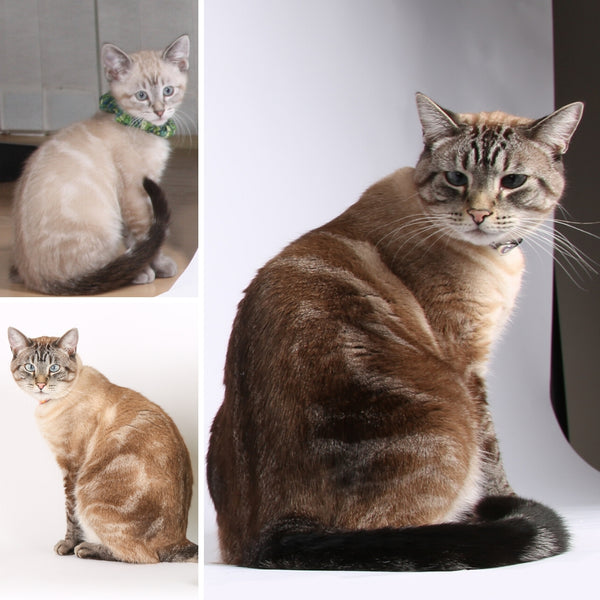 Retro is a half Siamese, half Angora cat and his color is called lynx point.