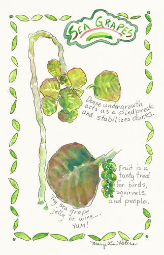 Sanibel Island: Sea Grapes