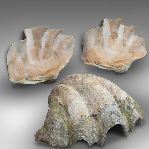 Set of 3, Antique Giant Clam Shells, Pacific, Tridacna Gigas, Display, C.1900