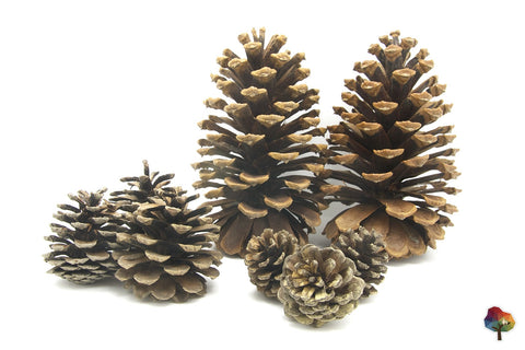 Pine Cones @ 大樹孩子生活館             Tree Children's Lodge, Hong Kong - 1