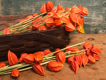 NV-CL Dried Chinese Lanterns Bunch