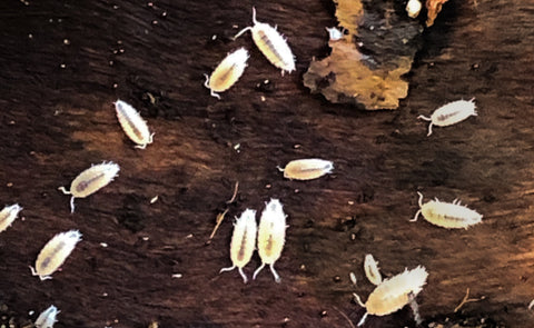 Dwarf White Isopods and 16oz Springtail Culture Bundle