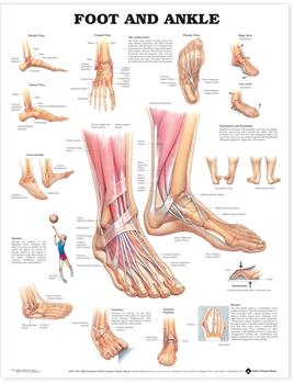 Foot and Ankle Poster