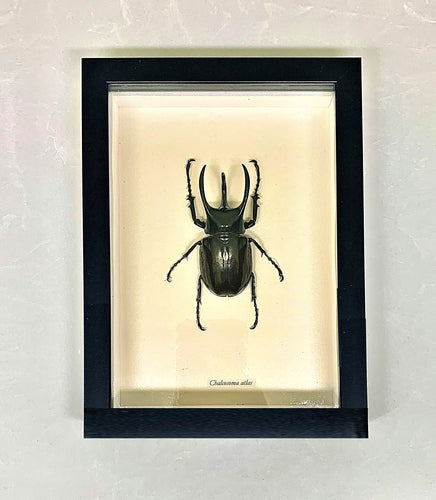 A black horned rhinoceros beetle in a clear-backed glass case with a black frame.