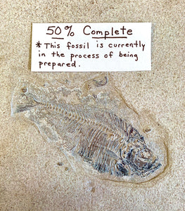 Fish Fossil Preparation  Kit
