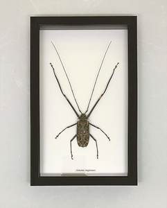 A harleguin beetle in a glass-backed case with a black frame.