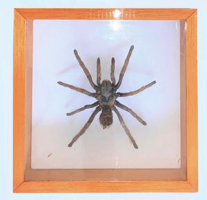 Brown spider in a glass case with a wooden frame.