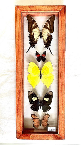 Five butterflies in a glass backed case with a wooden frame. The top butterfly is large, and cream with brown wingtips. Below it is a smaller black butterfly is spots of orange. Below is a larger yellow butterfly. Below is a medium black butterfly with white spots and gray wing-tips. At the bottom is an orange and black butterfly.
