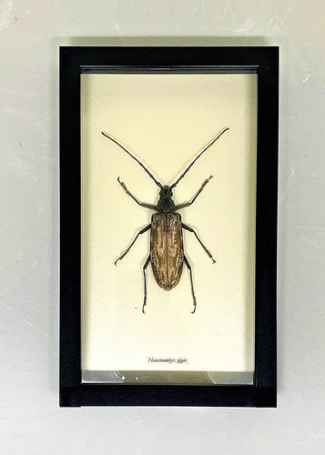 Beetle in a glass backed case with a black wooden frame.