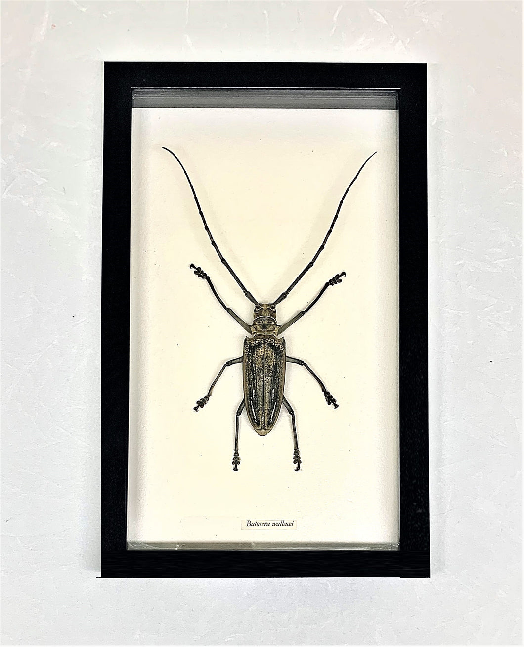 A beetle in a glass case with a white background and a black wooden frame.