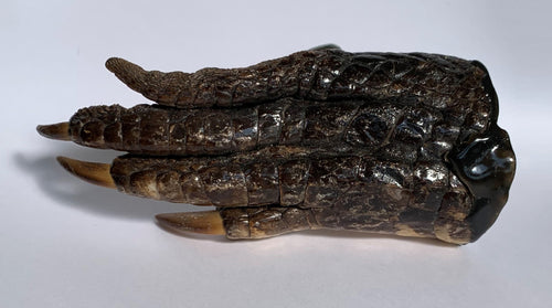 Top-down view of a brown/black alligator foot with tan claws.