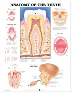 "A poster labelled ""Anatomy of the Teeth"". It shows multiple diagrams of a tooth and teeth."