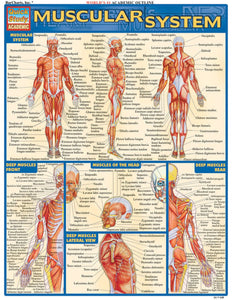 "A chart labelled ""Muscular system"" in yellow on a blue background. It has multiple labelled diagrams."