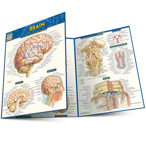 A trifold brain chart, partially folded over.