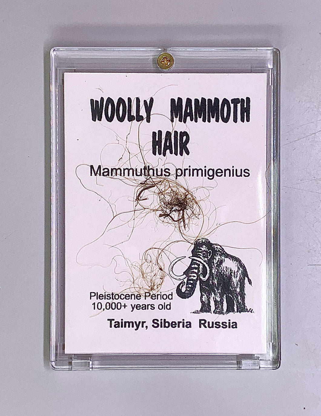 Mammoth hair in a resin casing, labelled Mammuthus primigenius, Pleistocene Period, 10,000 years old, Taimyr, Siberia, Russia.