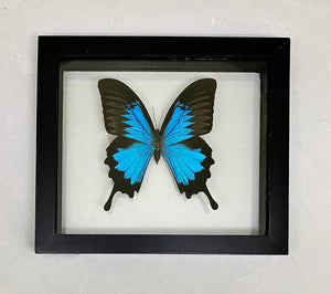 Blue Emperor Butterfly    --   (Papilio ulysses)