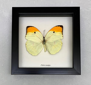 A butterfly in a glass backed case with a black wooden frame.