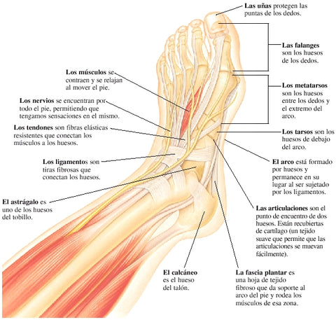 anatomía del tobillo, blog the running closet