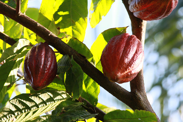 Organic cacao trees with ripe pods