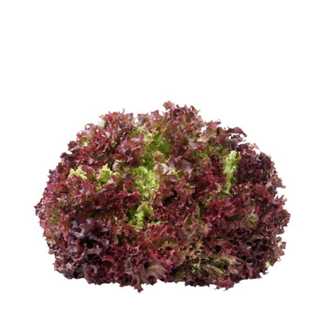 Lettuce Coral Red