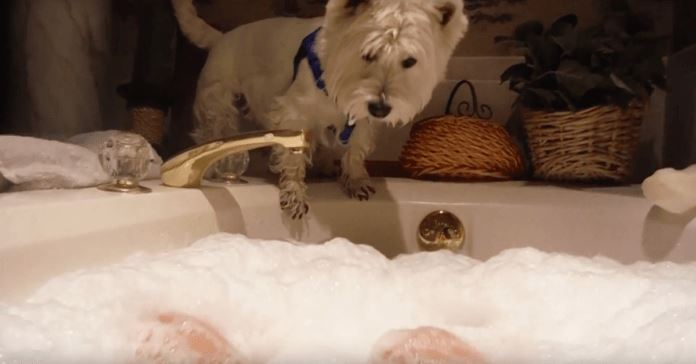 Westie Wants To Know About These Bubbles, What He Does Will Make You Laugh Out Loud