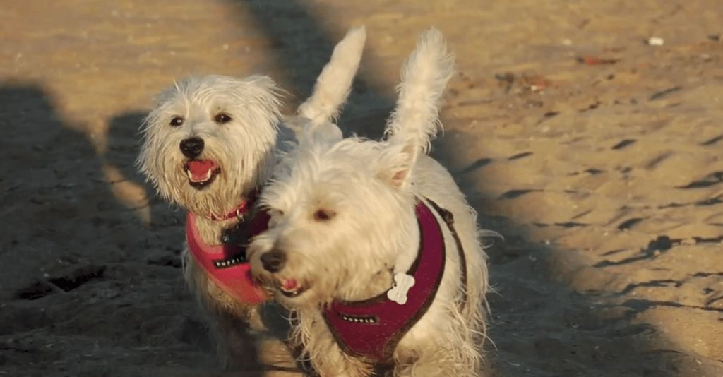 Are These The Happiest Westies Ever?