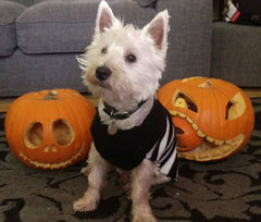 Westie with Pumpkin