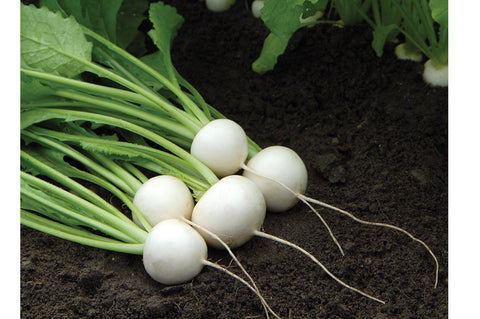 Sweet Snacking Turnips