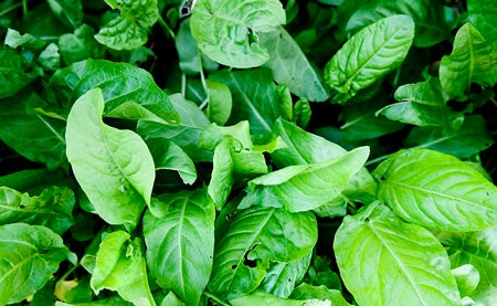 French Sorrel (Lemon Spinach)