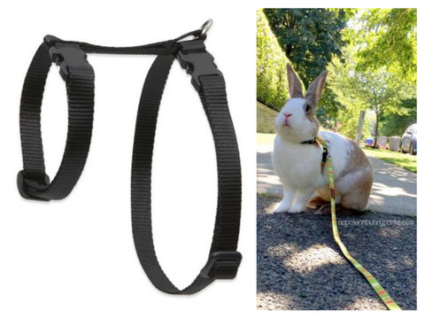 Chloe of Napoleon Bunnyparte enjoying a stroll her in h-harness