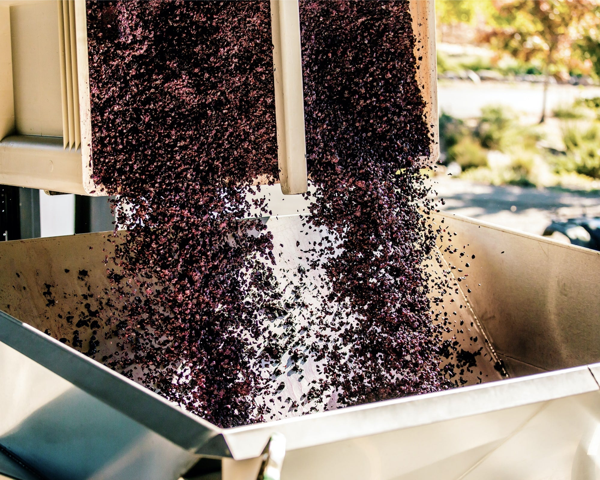 Grapes being poured into the pressing machinery