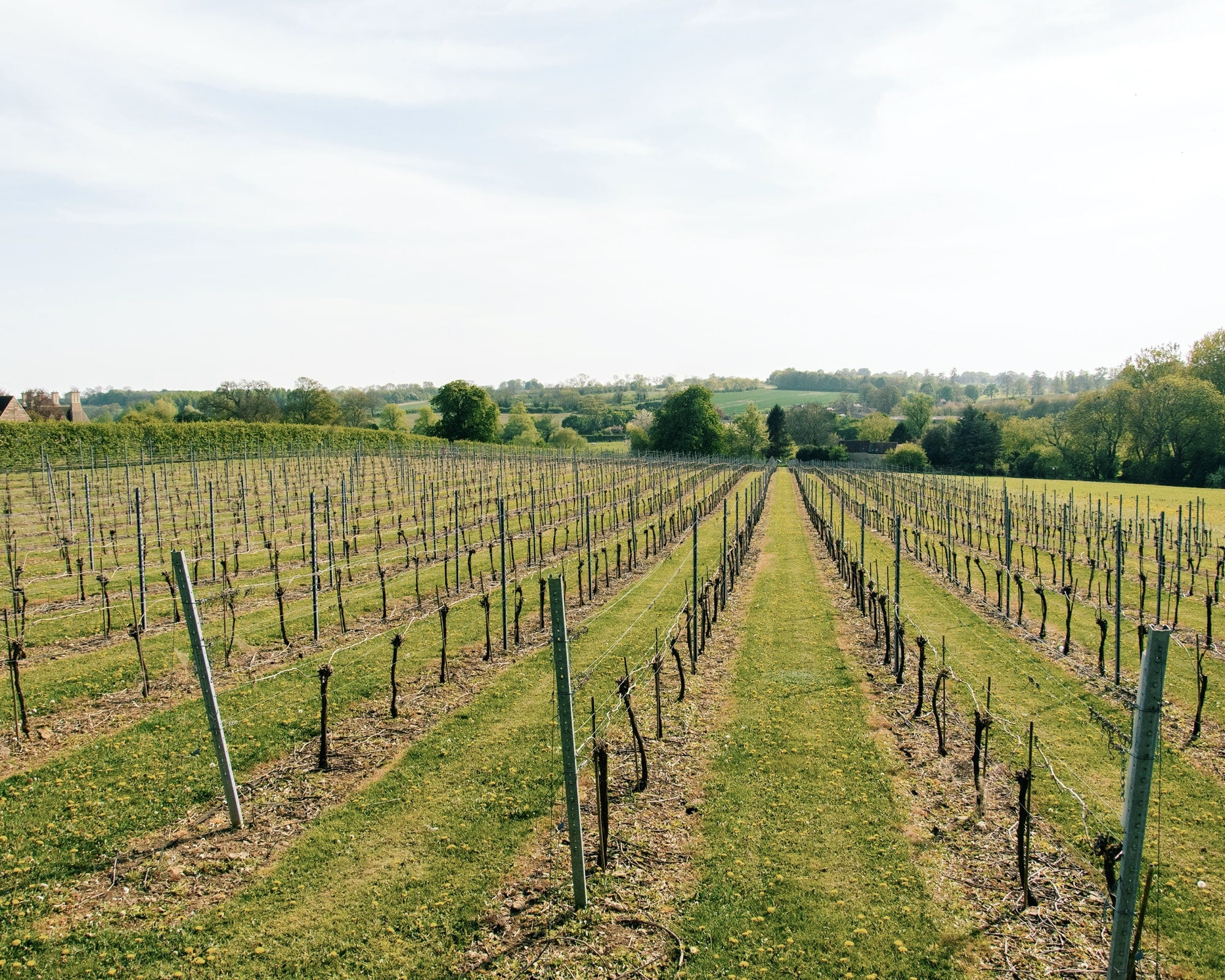 Lowick Vineyard, an English family vineyard in the heart of Lowick, Northamptonshire