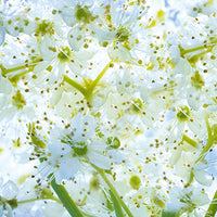 Meadowsweet Featured Ingredient - L'Occitane