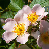 Muscat_Rose_Bush Featured Ingredient - L'Occitane