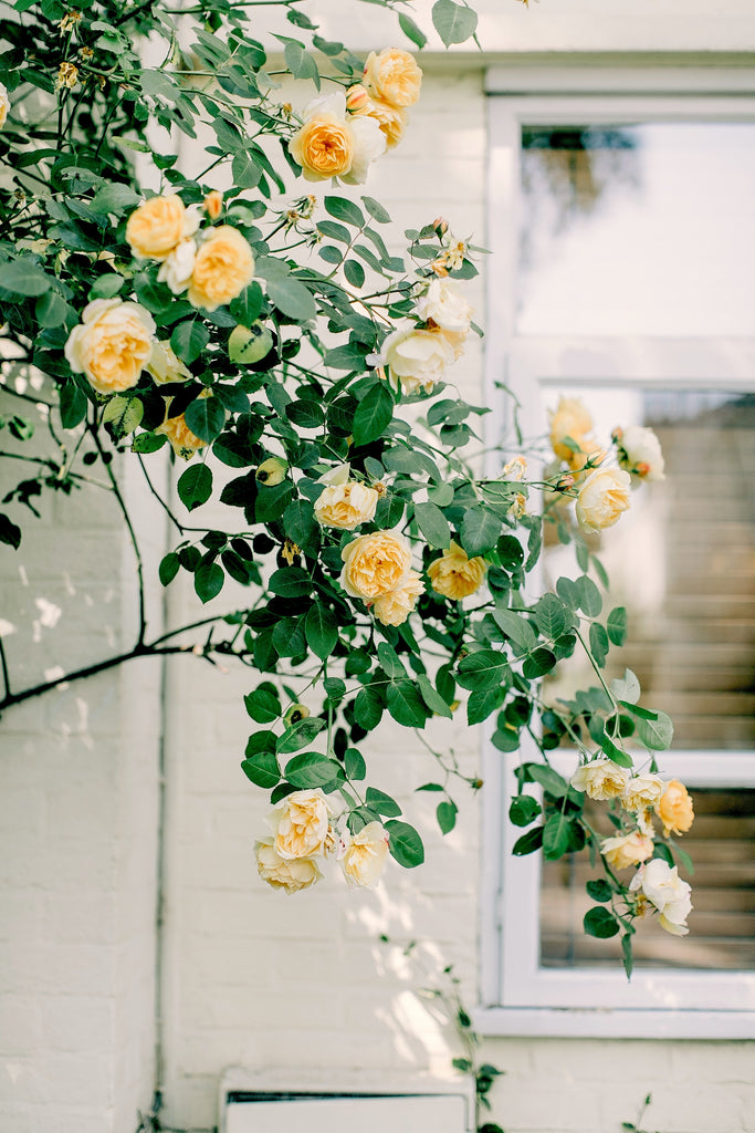 yellow climbing rose wall autumn winter plants