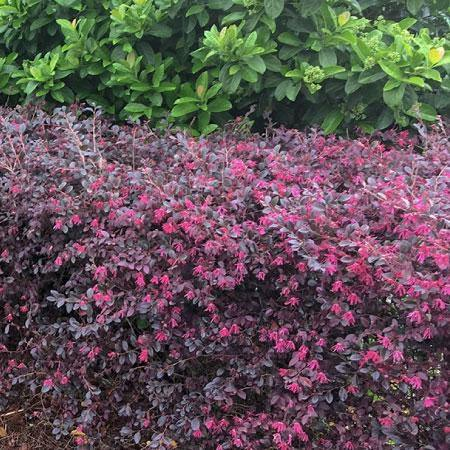 Loropetalum Purple Bush - Mainaam Garden