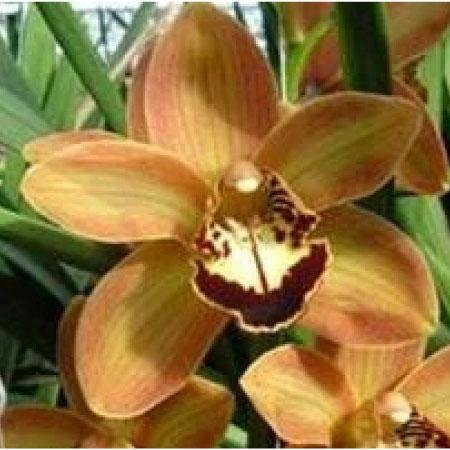 MG93 Cymbidium Orchid