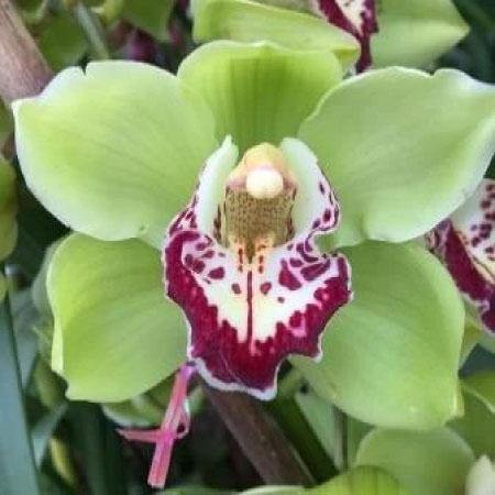 Greennoble Cymbidium Orchid