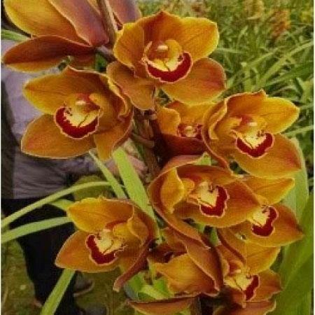 XXA Cymbidium Orchid From Mainaam Garden - XXA Cymbidium Orchid For Sale in India