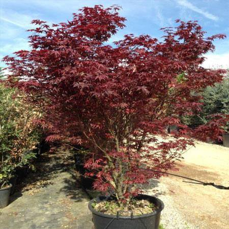 Red Maple (Acer rubrum) Tree - Mainaam Garden
