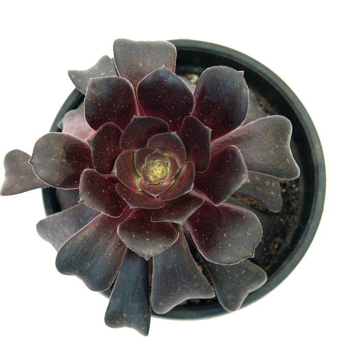 Aeonium Black Rose 'Zwartkop'
