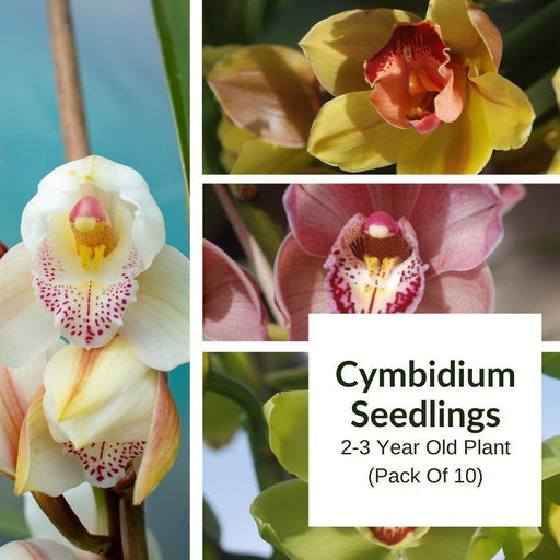 Buy Cymbidium Seedlings Combo Pack Of 10 Orchids Online in India