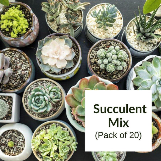 Buy Succulent Mix Of 20 Live Plants Online Succulent Plant For Sale