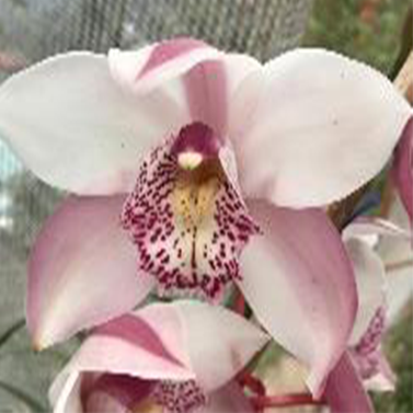 Candy King Jane Cymbidium Orchid (Flask) - Mainaam Garden
