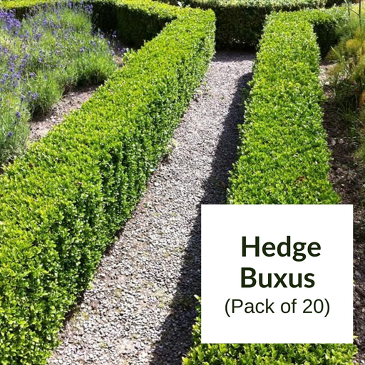 Hedge Buxus Pack Of 20 - Mainaam Garden
