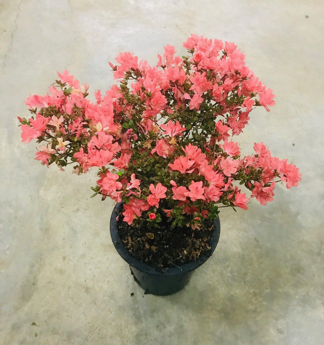 Azalea Japonica Orange Dwarf - Mainaam Garden