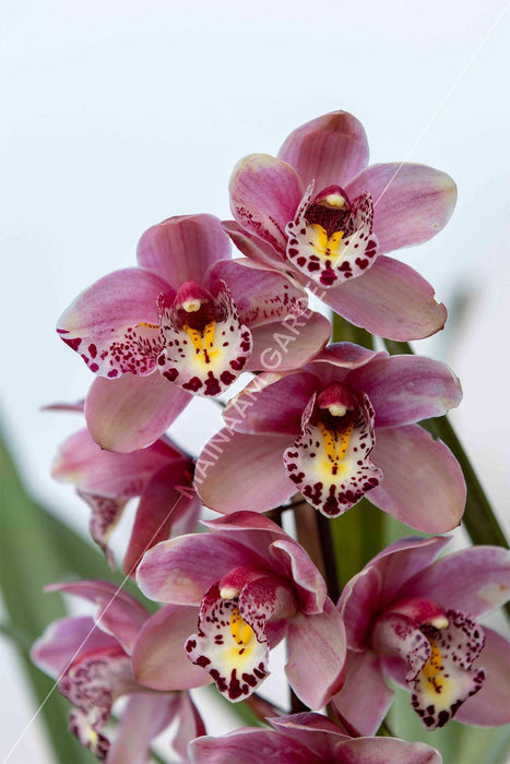 Touch of Class Cymbidium Orchid