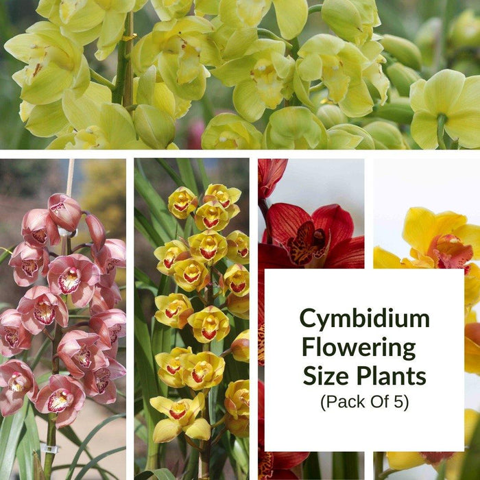 Cymbidium Flowering Size Plants Pack of 5 - Mainaam Garden